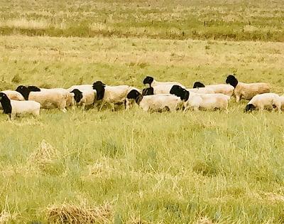 dorpers sheep Australia
