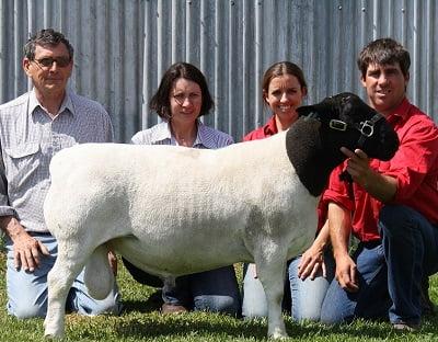 Winrae Dorper Sheep